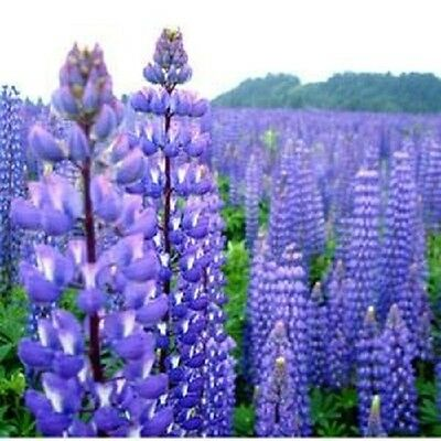 Lupinus 40 Rose Colored Lupine Flower Seeds Reseeding Annual