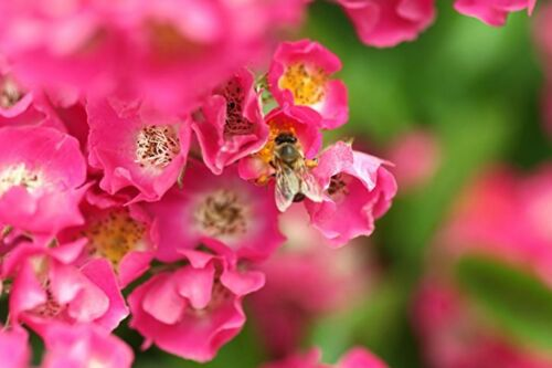 Vielblütige Rose Rosa multiflora 145 Samen MENGENRABATT !!!