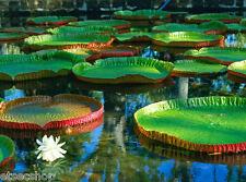 Semi di loto Waterlily Victoria Amazzonica gigante Lotus fiore giardino laghetto