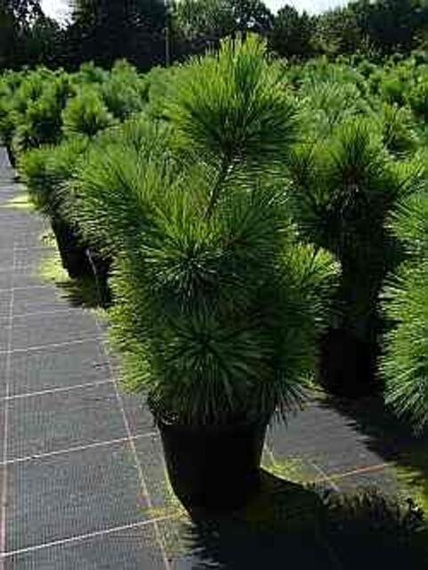 Pinus parviflora Negishi 25-30, Graublaue Zwerg-Mädchen-Kiefer, max. 1,50m hoch