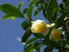 200 CAMELLIA sinensis Green Tea Seeds Fresh Fragrant