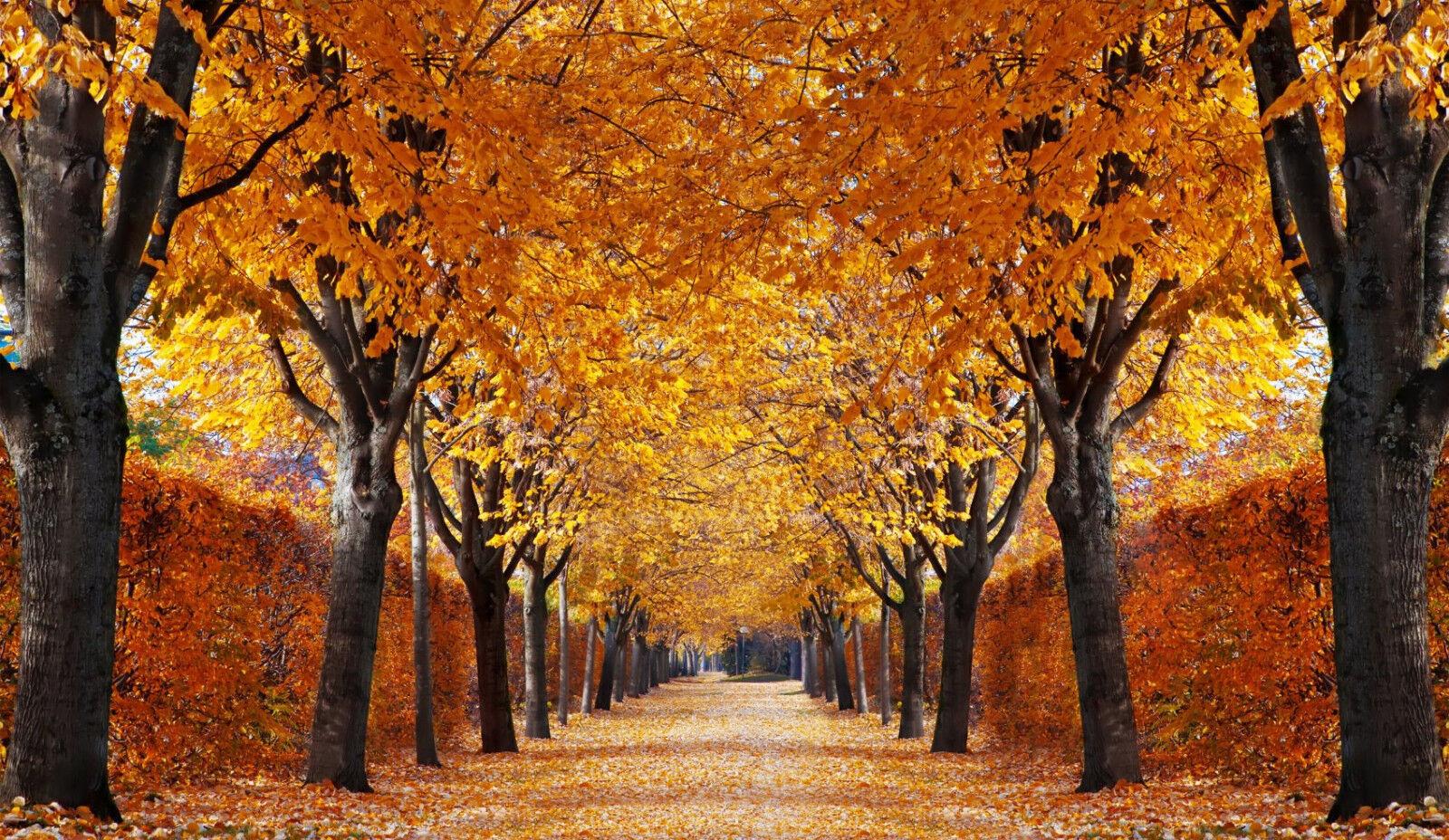 Fototapete-HERBST ALLEE-(333P)-350x260cm-7Bahnen 50x260cm-Bäume Garten XXL Natur