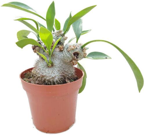 Myrmecodia beccarii-formiche pianta orchidee terrario epiphyt myrmecodia