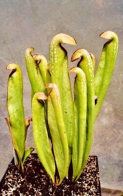 See Description Bare Root - Assorted Typical Venus Flytrap Rhizomes x10