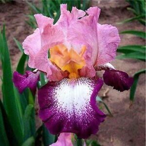 Bearded-Iris-2-Perennial-Impressive-Rhizome-Bulbs-Bonsai-Flower-Impressive-Yard