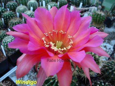 T 3 cm Windigo Echinopsis Chic Hybride #101