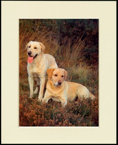 LABRADOR RETRIEVER LOVELY LITTLE DOG PRINT TWO DOGS MOUNTED READY TO FRAME