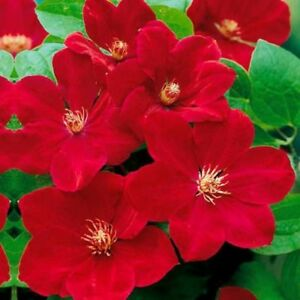 25 Bright Red Clematis Seeds Large Bloom Climbing Perennial Garden