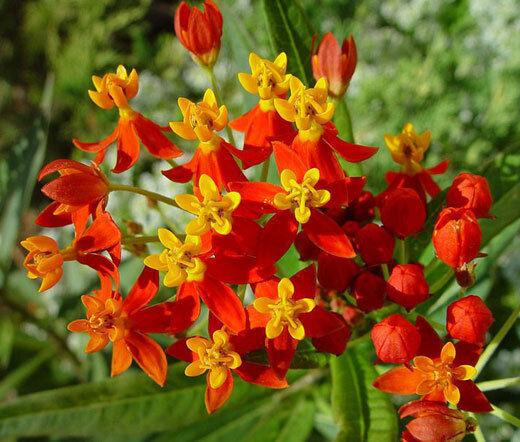 Flor De Sangre Milkweed Asclepias Curassavica-EsCochelata 11,000 Semillas a granel