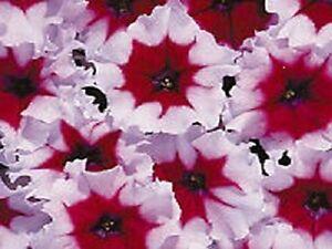 Petunia-Seeds-Petunia-Celebrity-Burgundy-Frost-50-Pelleted-Seeds-FLOWER-SEEDS