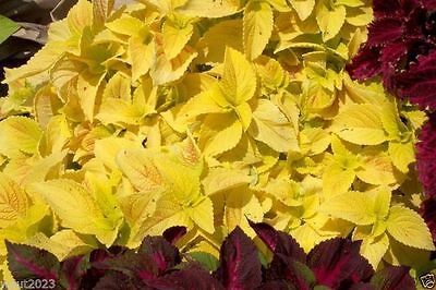 Coleus Seeds ,WIZARD SERIES-Golden- Great In  Shaded Area- 100 Seeds !