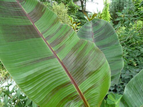 50 graines-Musa Sikkimensis sont d Tiger - Darjeeling Banana Plant