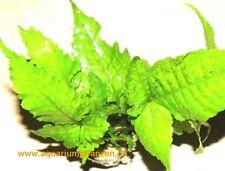 1 Topf Bolbtis heteroclita, asiatischer Wasserfarn