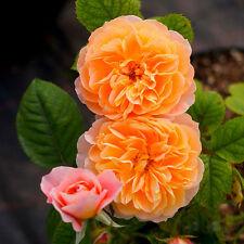 100x Orange Climbing Chinese Rose Seeds Multiflora Perennial Flower Garden Plant