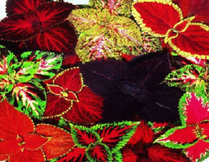 Coleus-Seeds-50-Seeds-Rainbow-Grimes-Mix-Flower-Seeds