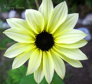 SUNFLOWER-VANILLA-ICE-60-SEEDS-Helianthus-debilis