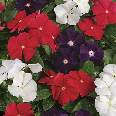 Flower Seeds VINCA ROSEA - Dwarf Pecifica Large Flower Mixed - Pack of 20 Seeds