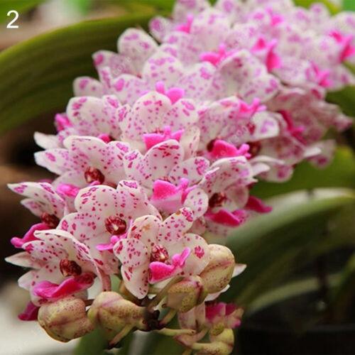 100Pcs Fragrant Orchid Seeds Cymbidium Flower Home Garden Rare Bonsai Plant Easy