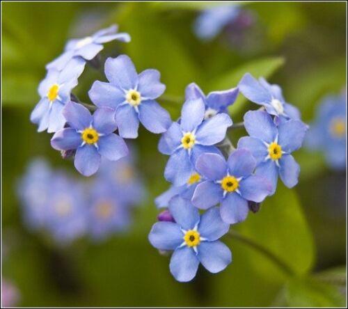 Forget me not seeds Myosotis arvensis wild flowers 5 packs