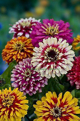 FLOWER ZINNIA WHIRLYGIG MIX 3 GRAM ~ APPROX 450 FINEST SEEDS
