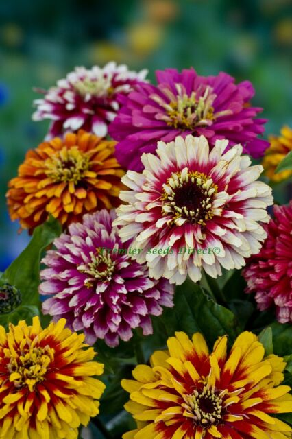 FLOWER ZINNIA WHIRLYGIG MIX 3 GRAM ~ APPROX 450 FINEST SEEDS