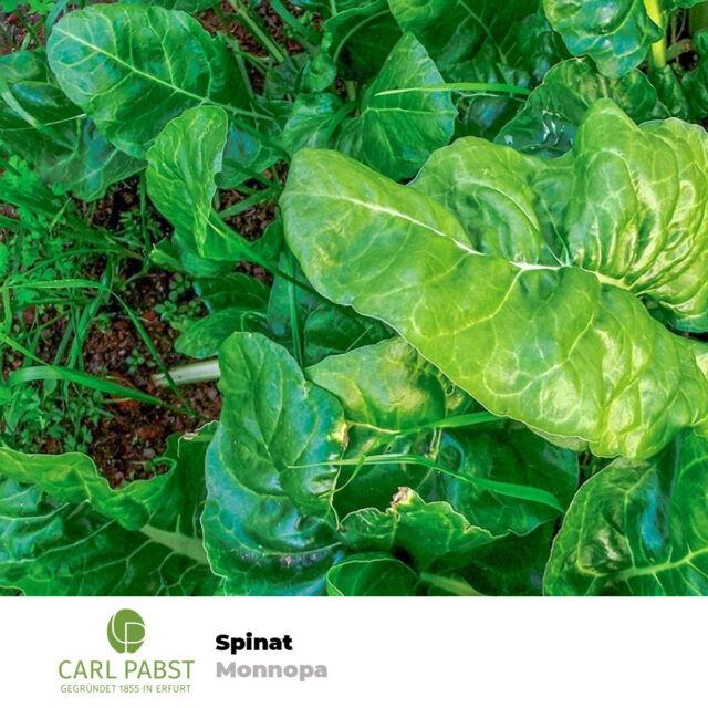 Spinat Monnopa 400 Pflanzen Samen Saatgut Spinatsamen Gemüsespinat Gartenspinat