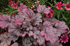 "HEUCHERA LITTLE CUTIE ""SUGAR BERRY"" Frosted Berry-Violet Foliage PLUG PLANT"