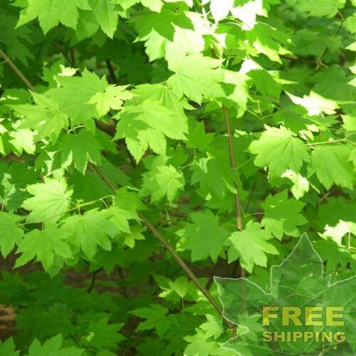 FREE S/&H OREGON VINE MAPLE Acer Circinatum 10 SEEDS