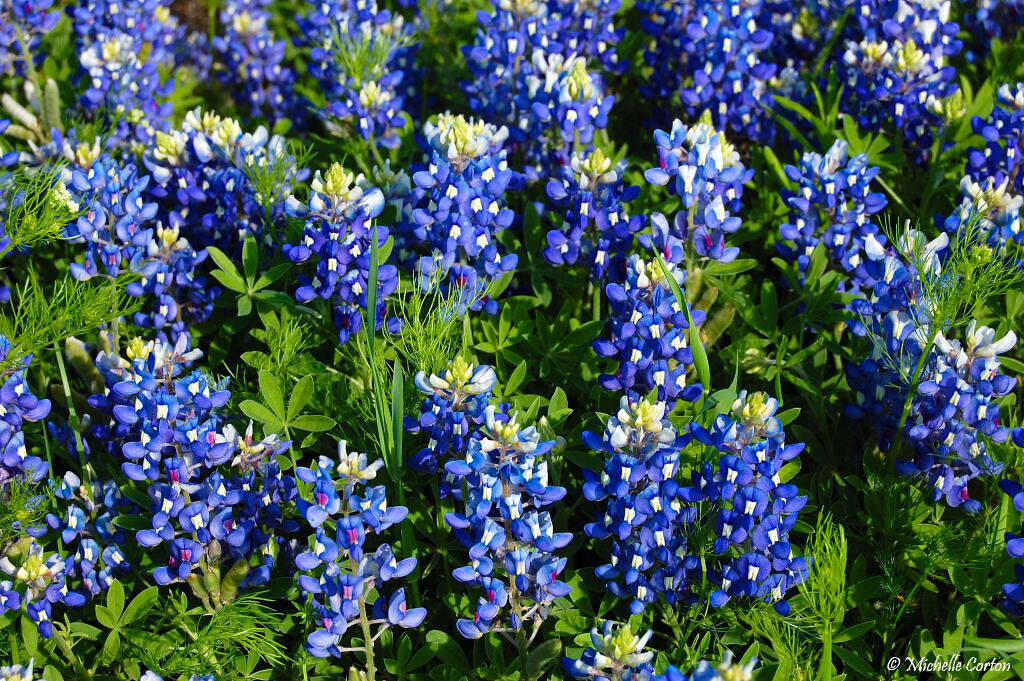 Texas Bluebonnet Lupinus texensis 25 Seeds (Free US Shipping)