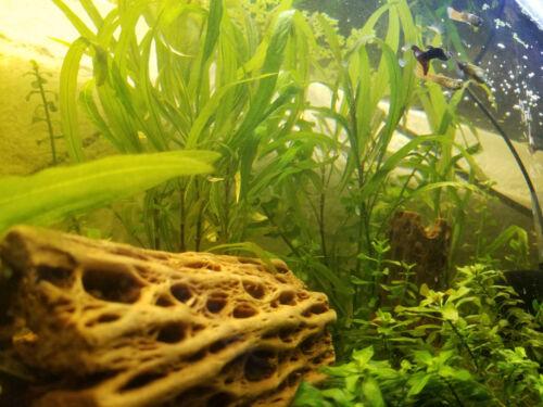 Cholla Wood Large Chain Fruit 3 6 Inch Pleco Shrimp Hermit Cichlid Crab Aquarium