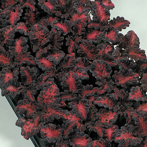 100 Seeds Kings Seeds Coleus Black Dragon