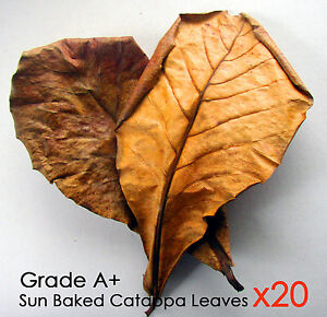 Giant Indian Almond Free Shipping 20 Grd A Leaves Aquarium Carefully Selected Materials catappa/ketap​ang