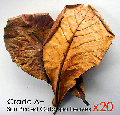 catappa/ketap​ang Intelligent 50g Grade A Leaves Bark Seed Aquarium Giant Indian Almond