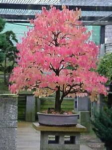 Japanese-Katsura-Cercidiphyllum-japonicum-Tree-Seeds-Fall-Color-Bonsai