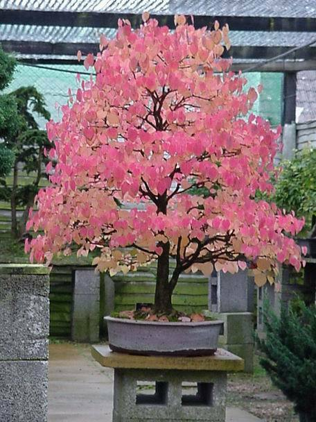 Japanese Katsura, Cercidiphyllum japonicum, Tree Seeds (Fall Color, Bonsai)
