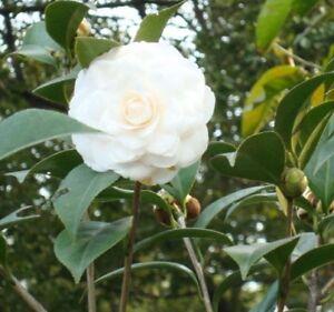 Camellia japonica white japanese camellia flowering tree shrub image is loading camellia japonica white japanese camellia flowering tree shrub mightylinksfo