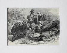 European Vultures - Antique Victorian B/W Print, Wood Engraving, Mounted