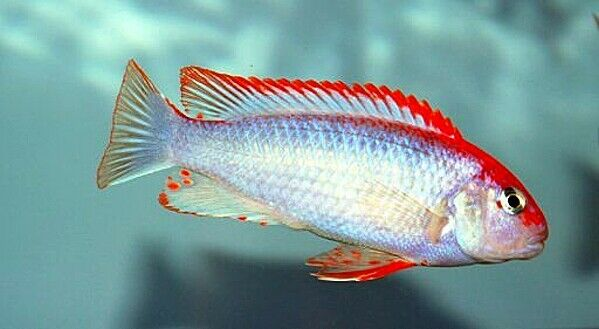 6 sei x pseudotropheus SP. Rosso Superiore ndumbi dei ciclidi del lago Malawi