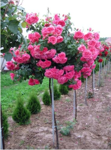 Kugelförmihe Stammrose rosa R010 Dünger Gratis