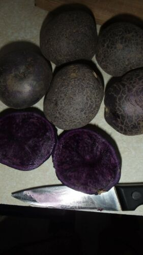 Purple Potato Solanum tuberosum Unique garden ORGANIC All Blue 5 Potato tubers