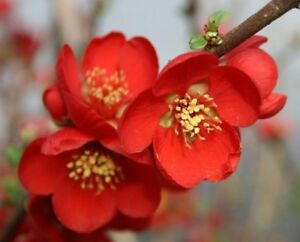 10-Chaenomeles-X-Speciosa-seeds-Japanese-quince-Pink-Lady