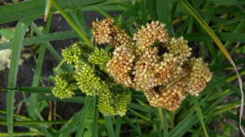 Ragi 50 Finger Millet seeds