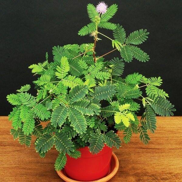 Sensitive Plant Mimosa Pudica Sleepy Bush Fern Bonsai Powder Puff Seed 20 Seeds For Sale Online Ebay