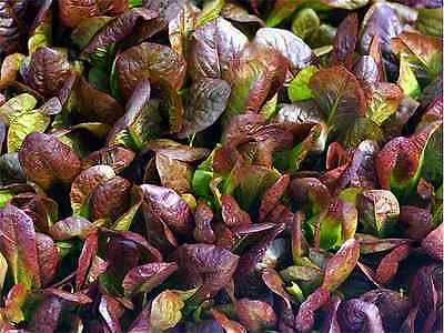 CIMMARON ROMAINE LETTUCE SEEDS * 200 PKT.* HEIRLOOM * CHARMING DEEP RED COLOR *