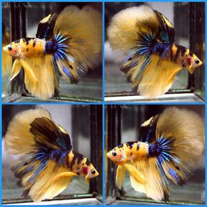 Live Betta Fish BENGAL Yellow Tiger METALLIC BLUE GALAXY KOI Halfmoon Male T216