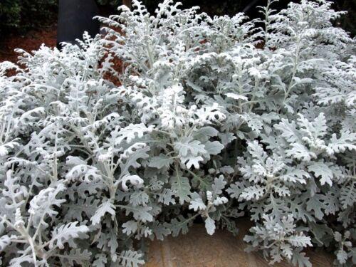 DUSTY MILLER Silver Dust Senecio Cineraria Gray Grey Foliage 30 Seeds