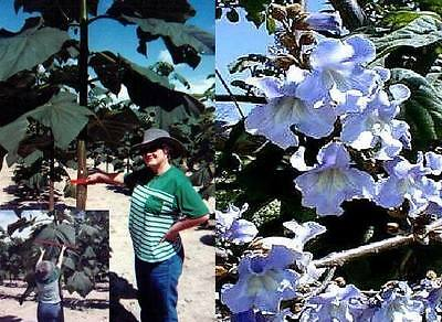 Gartenbaum mit Riesenblättern: Asiat. Blauglockenbaum