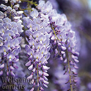Wisteria-Vine-Wisteria-frutescens-039-Amethyst-Falls-039-Flowering-LIVE-Plant