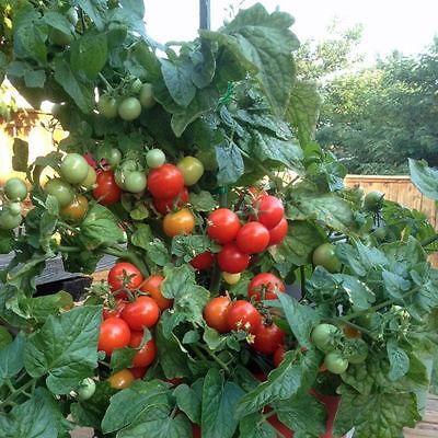 Great Garden Vegetable 30 Seeds Tomato Totem Lycopersicon Esculentum Hybrid