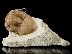 Russian-trilobite-Illaenus-tauricornis-KUTORGA-1848